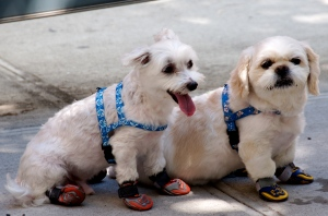 Photo of dogs in sneakers by Ed Yourdon/Creative Commons