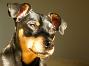 Miniature Pinscher by photo by Marabuchi/Creative Commons