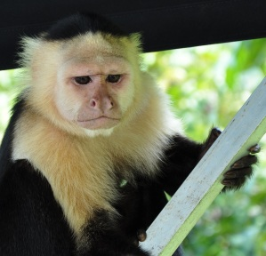 Capuchin monkey photo by Maryatexitzero/Creative Commons