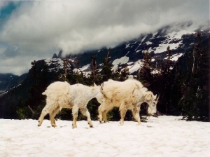 Mountain goats photo by YoTuT/Creative Commons