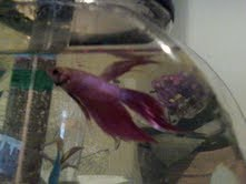 Spike the Betta fish