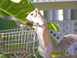 This squirrel is ready to get her shop on. Creative Commons License