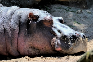 Sleeping Hippo