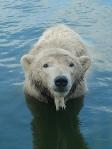 Polar Bear photo by Richard IJzermans