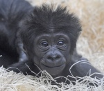 Cutest gorilla in the world.