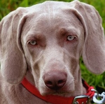 Dwight D. Eisenhower: Heidi the Weimaraner