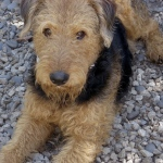 Woodrow Wilson: Davie the Airedale Terrier