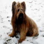 Thomas Jefferson: Buzzy the Briard