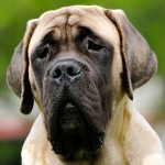 Rutherford B. Hayes: Duke the English Mastiff