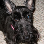 Franklin D. Roosevelt: Fala the Scottish Terrier