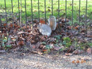 British squirrel.
