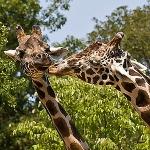 Giraffes: By IrishWildCat