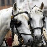 Horses: By Tinou Bao