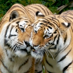 Tigers: By ChadH
