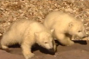 twin polar bear cubs
