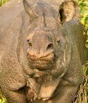 Nepal's rhinos
